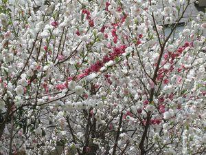 三色桜2.jpg