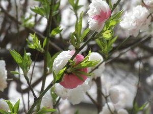 三色桜3.jpg