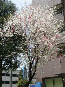 3色桜.jpg